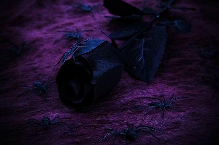 halloween-black-purple-rose-450